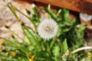dandelion(1)